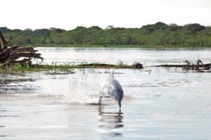 Amazon river cruises, amazon jungle, amazon animals, amazonas, adventure tours, adventure packages, peruvian amazon, peruvian gastronomy, aria amazon river cruise, zafiro cruise dolphin, peruvian dolphin, river dolphin