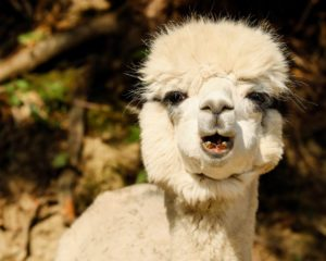 alpaca, difference between alpaca, llamas and vicuñas, south american camelids