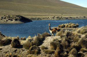 vicuna, vicuñas, alpaca south american camelids, expedition